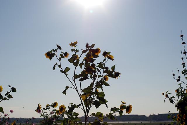 IMGP10184_sonnenblumen-in-der-sonne